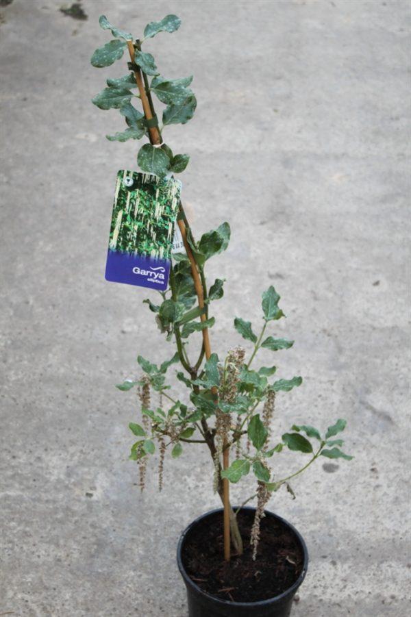 Garrya Elliptica Garden Plant-Silk Tassel Bush
