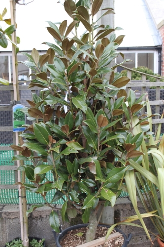 Magnolia Grandiflora - Evergreen Magnolia- Large Plants 1.6M Tall