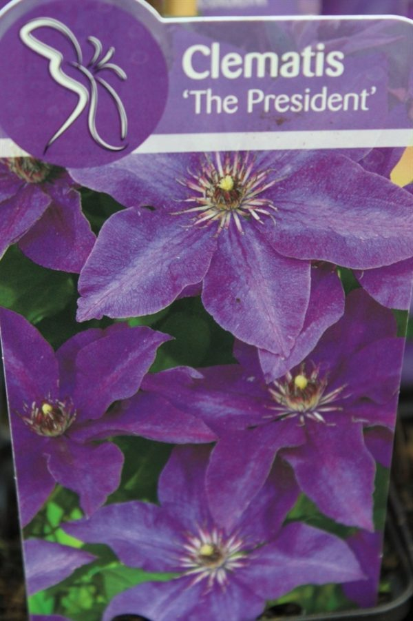 Climbing Plant - Clematis 'President'