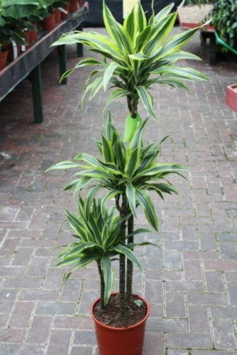 Dracaena fragrans - Lemon and Lime 1.5m Tall
