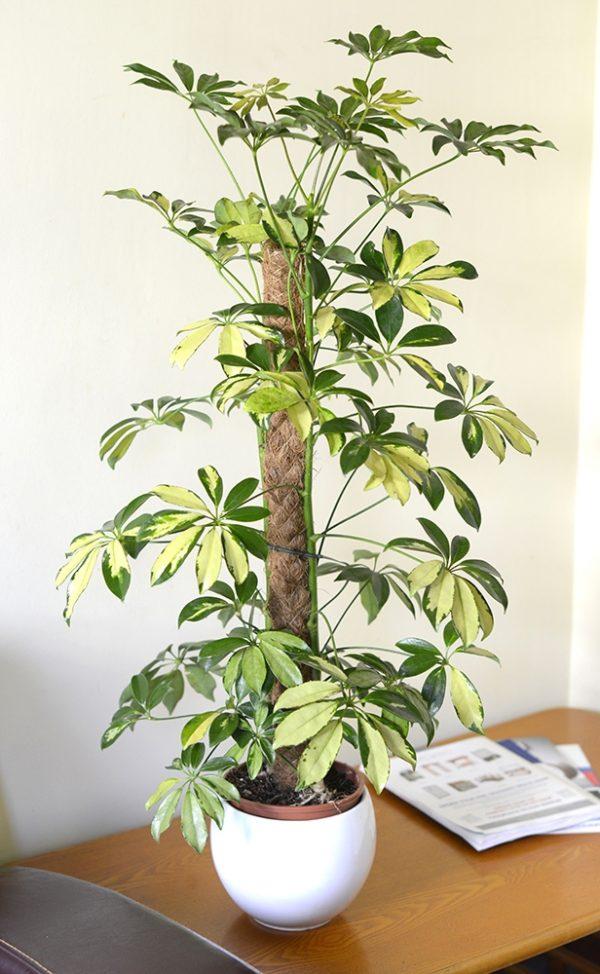 Schefflera Trinette arborea Variegata - Variegated Umbrella Plant 90CM