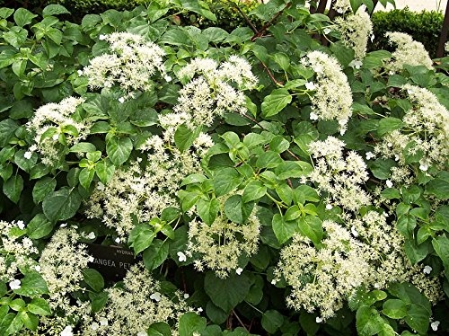 Climbing Hydrangea - Approx 70cm Tall on a cane