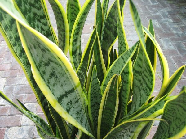 Sansevaria - Mother in Laws Tongue Large Variegated 45cm
