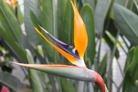 Strelitzia Reginae - BIRD OF PARADISE - Approx. 40cms Tall