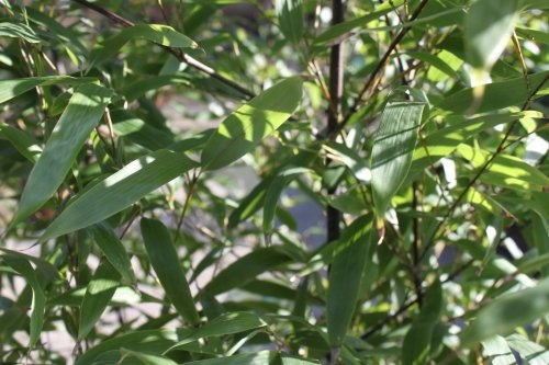 Phyllostachys Nigra- Black Bamboo - MASSIVE PLANTS 2M+