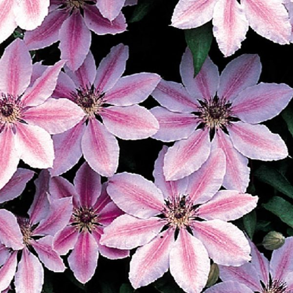 Climbing Plant - Clematis 'Nelly Moser'