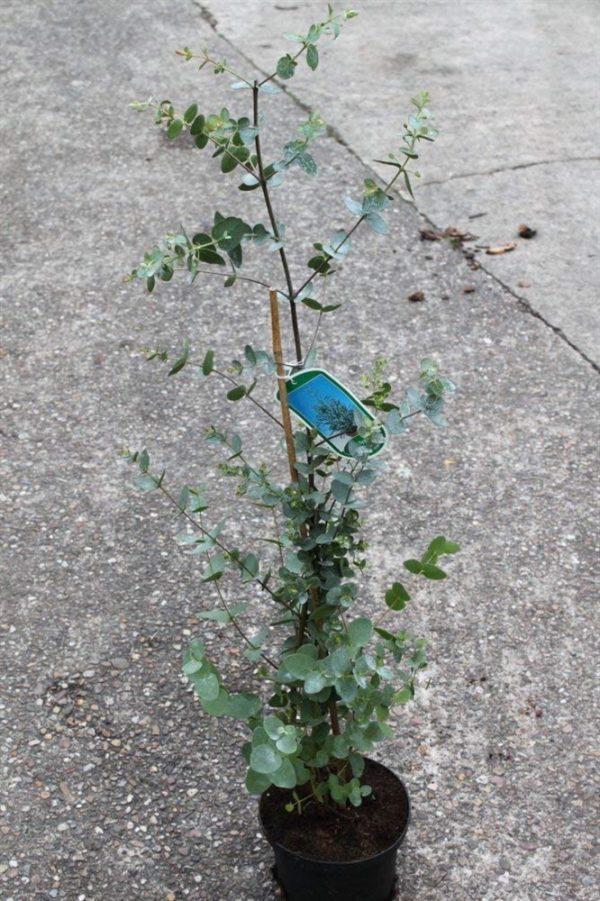 Eucalyptus Gunnii- Plant Approx. 75cm Tall