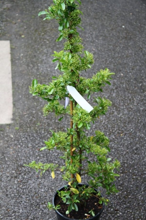 Pyracantha Plants -Variety Golden Charmer - Firethorn- LARGE PLANTS 1.5M Tall