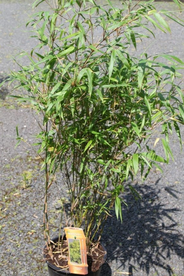 Fargesia Angustissima - Gold Garden Bamboo - 50cm