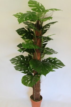 1.6M Artificial Cheese Plant With Pot