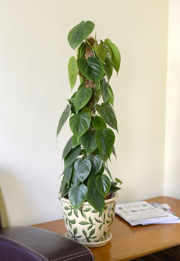 Philodendron scandens- Sweetheart Plant 80cm tall