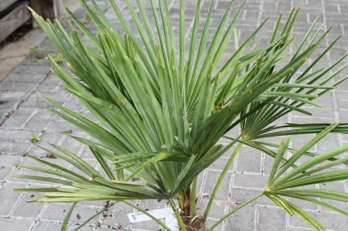 Trachycarpus fortunei Chusan Palm Approx 90cm Tall