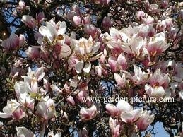 Magnolia Soulangeana - Tulip Tree -Established Plants 50cms Tall