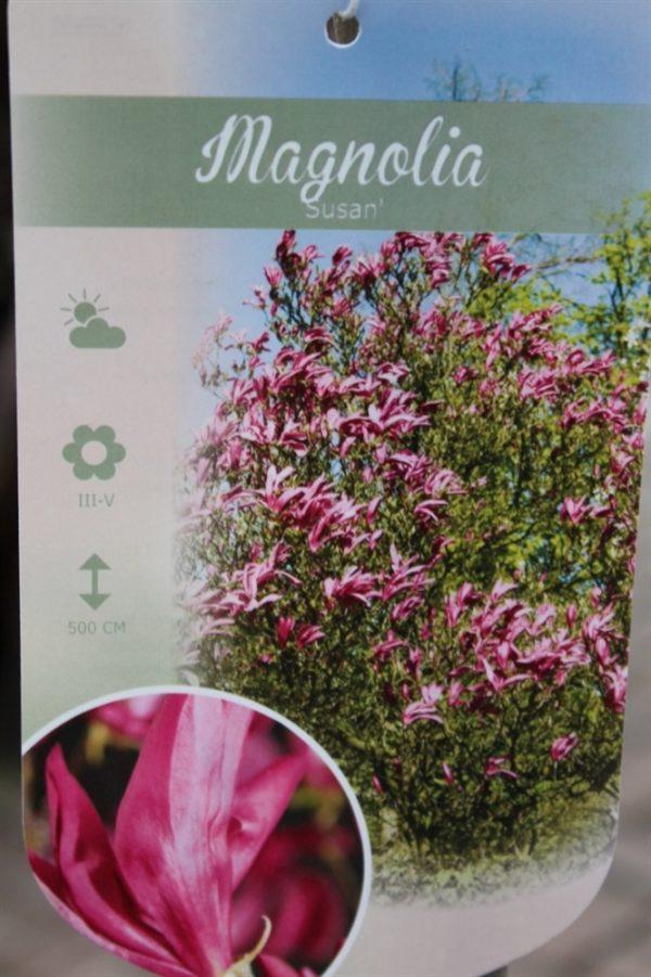Magnolia Susan- Tulip Tree -Large Standard Garden Plants