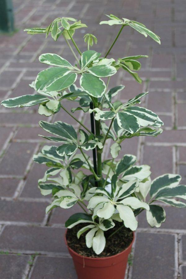Schefflera Trinette arborea Variegata - Variegated Umbrella Plant Approx 30CM Tall