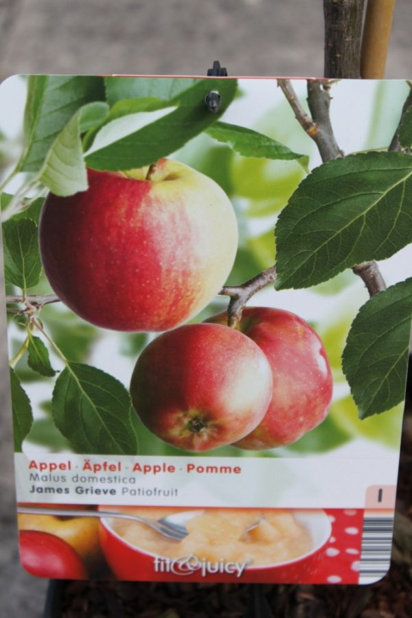 Dwarf Patio Fruit Tree- Apple- Variety James Grieve - Approx 75cm Tall
