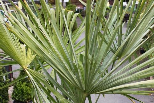Trachycarpus Fortunei - 1.5M HARDY CHUSAN PALM