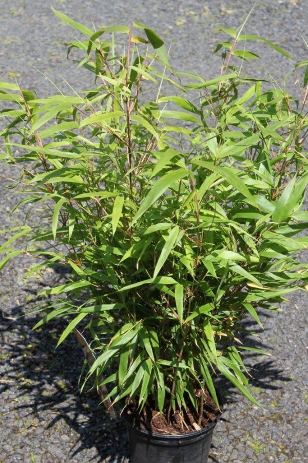 Fargesia murielae rufa - Garden Bamboo Plant Approx 1M tall