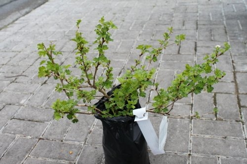 Gooseberry Bush 'Hinnonmaki Green'