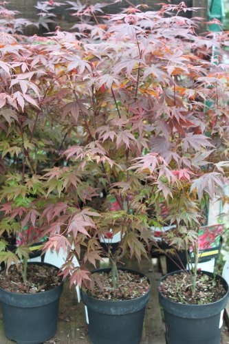 Acer Palmatum Atropurpereum - Japanese Maple 75cm Tall