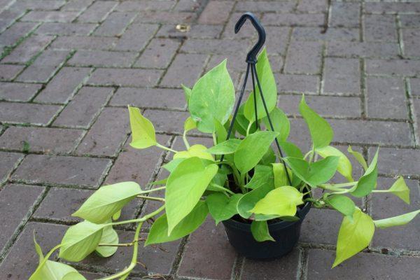 Scindapsus 'Golden Pothos'-In a 15cm Hanging Pot & Approx 30cm Long