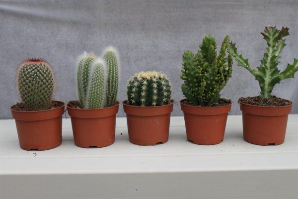 Cactus Plants- Set of 5 Large Indoor Cactus Plants