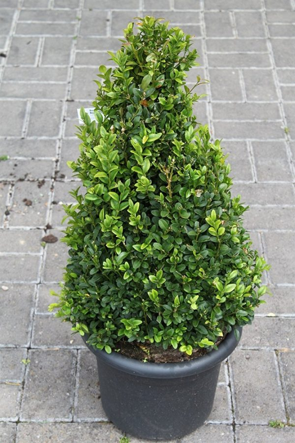 Buxus sempervirens Pyramid Shape Box Plant 75cm Tall