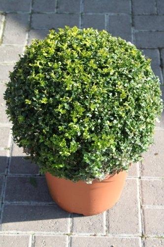 Buxus sempervirens Globe Shape Box Plant 45cm Wide- Superb Plants