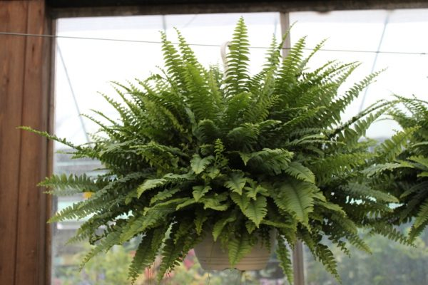 Nephrolepsis- Boston Fern -House Plant in a Hanging Pot