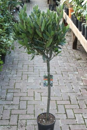 Laurus nobilis Bay Tree Half Standard Plants 125cm Tall