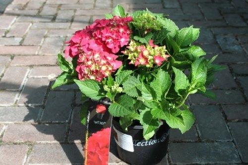 Hardy Garden Hydrangea Macrophylla 'Red' GOOD SIZED PLANT