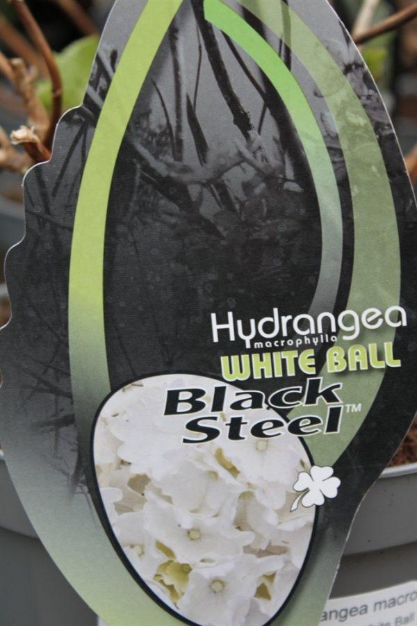Hardy Garden Hydrangea Macrophylla 'White Ball Black Steel'