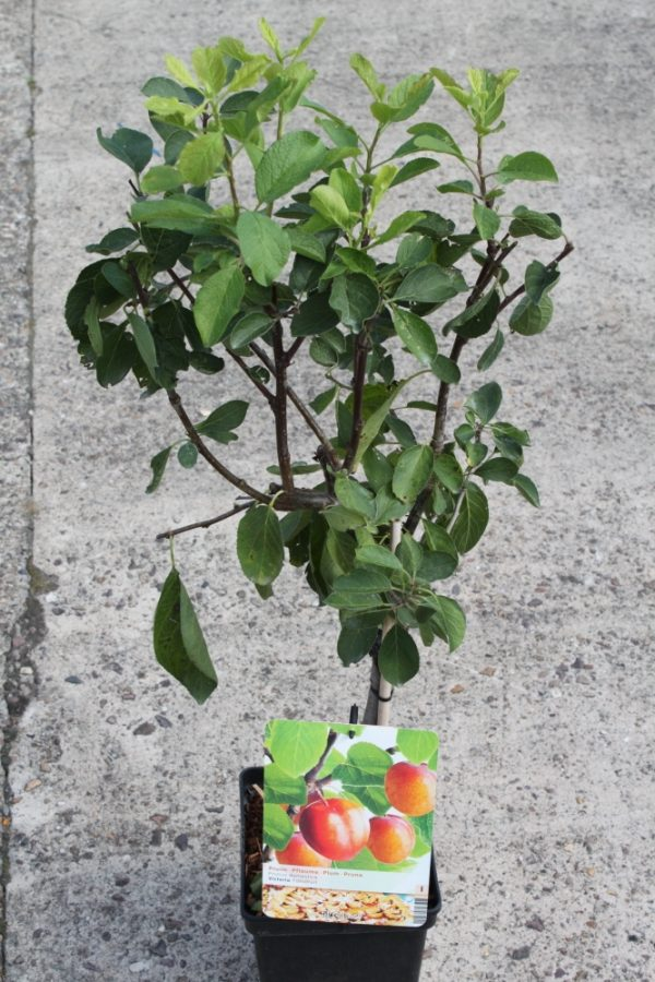 Dwarf Patio Fruit Tree- Plum- Variety Victoria - Approx 75cm Tall