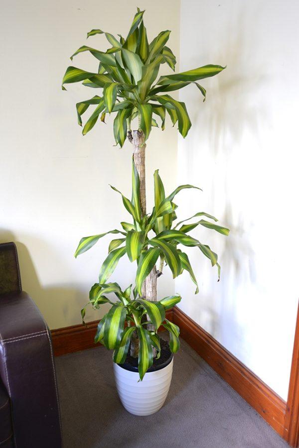 Dracaena Massangeana - Corn Plant- Available in 3 sizes