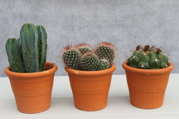 Cactus Plants- Set of 3 Indoor Cactus Plants