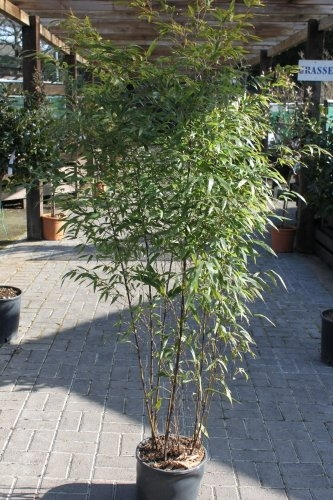 Phyllostachys Nigra - Black Bamboo Approx 1.8M Tall