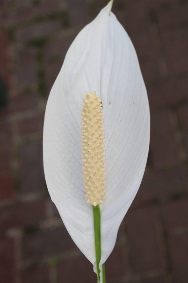 House or Office Plant -Spathyphyllum -40cm Tall- PEACE LILY