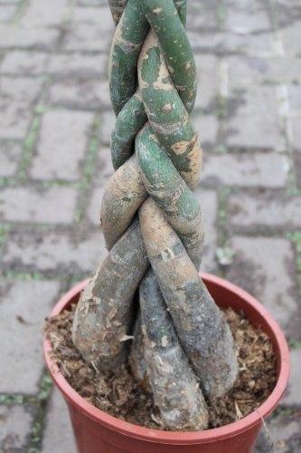 Pachira Aquatica - Money Plant- Approx 60cm