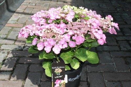 Hydrangea Macrophylla 'Lutin Pink'