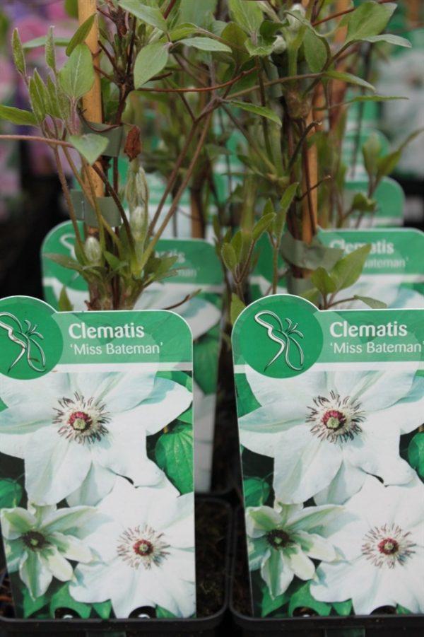Climbing Plant - Clematis 'Miss Bateman