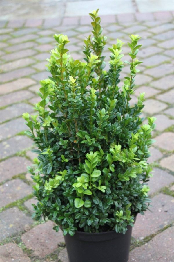 Buxus sempervirens - Approx 60cm Tall