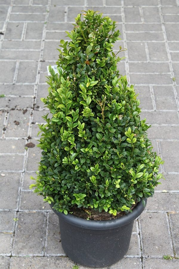 Buxus sempervirens Pyramid Shape Box Plant Approx 75cm Tall