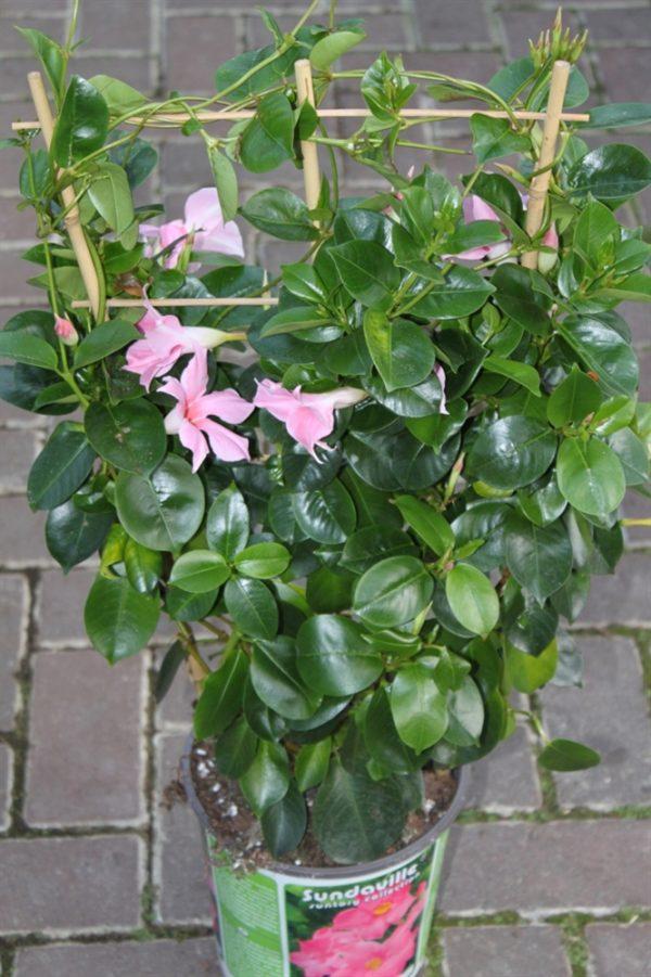 Dipladenia Sanderi - Mandevilla Approx 60cms Tall on a Trellis (Pink)