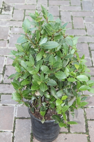 Bay Tree Bush Approx 85cms Tall- Laurus Nobilis