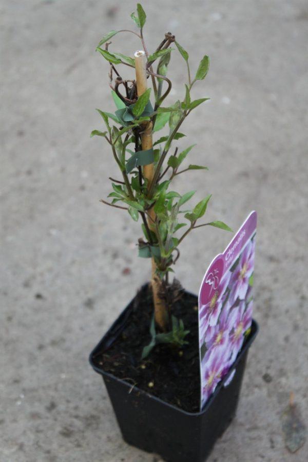 Climbing Plant - Clematis 'Piilu'