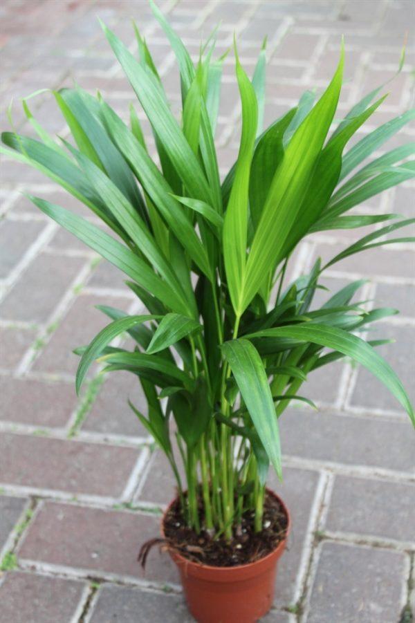 Chrysalidocarpus lutescens - Butterfly Palm 50cms