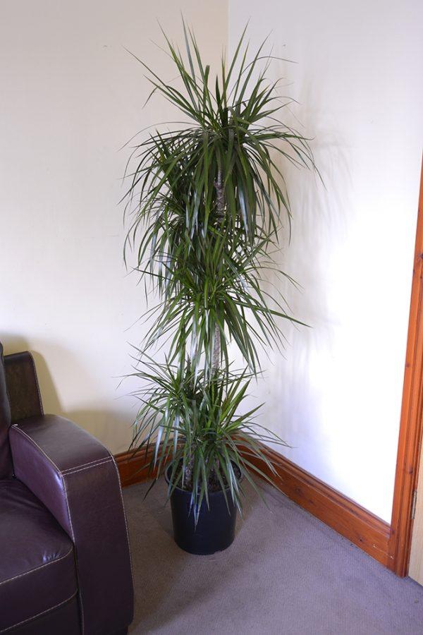 Draecena Marginata - Madagascar Dragon Tree 90cms