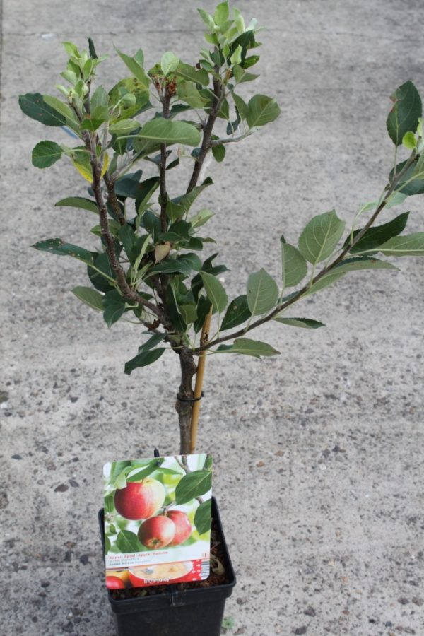 Dwarf Patio Fruit Tree- Apple- Variety James Grieve - Approx 75cm Tall