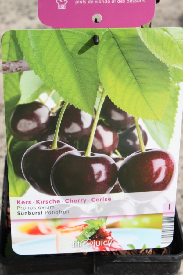 Dwarf Patio Fruit Tree- Cherry- Variety Sunburst- Approx 75cm Tall -