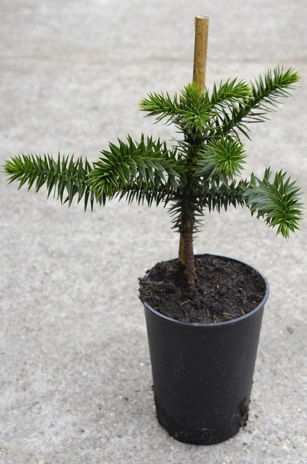 Araucaria - Monkey Puzzle- Plant Approx 30-40cm Tall